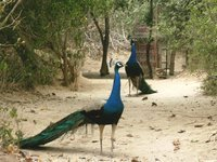 Peacocks_Bandiravana_1024x768