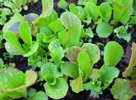 2010 lettuce: