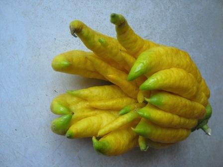 Buddha's Hand Citron #1: