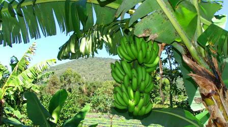 Cavendish bananas:
