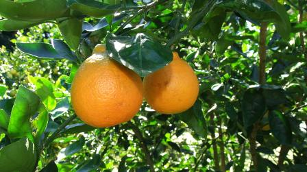 delicious oranges: