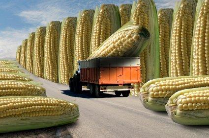 GMO-corn-web: