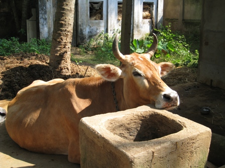 contented cow: