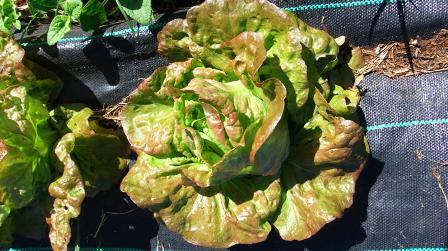 drip-fed lettuce: