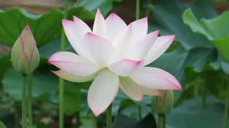 freshly opened lotus: