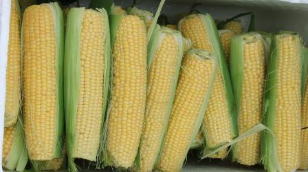 freshly picked corn: