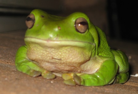 jabba the frog: