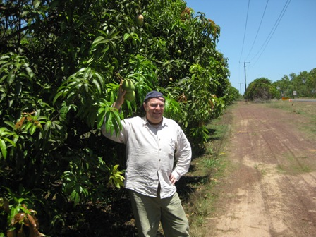 mangoes galore:
