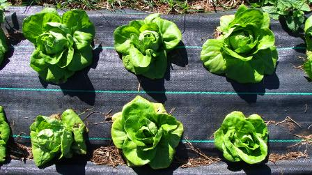 more crisp drip-fed lettuce:
