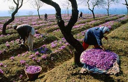 picking saffron crocus plants: