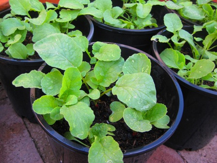 how to grow radish plants